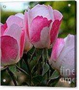 Shrub Roses Acrylic Print