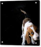 Shy Puppy Acrylic Print by by Eudald Castells