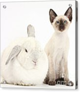 Siamese Kitten And White Rabbit Acrylic Print