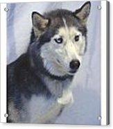 Siberian Husky 182 Acrylic Print