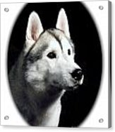 Siberian Husky 271 Acrylic Print