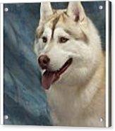 Siberian Husky 954 Acrylic Print