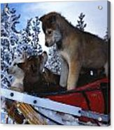 Siberian Husky Puppies Play On A Snow Acrylic Print by Nick Norman