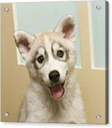 Siberian Husky Puppy In Front Of Door Acrylic Print