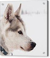 Siberian Husky With Snow Acrylic Print