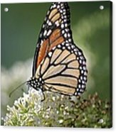 Side Profile Of A Monarch Acrylic Print