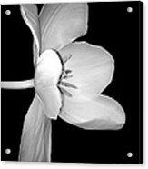 Sideways Tulip In Monochrome Acrylic Print