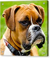 Sidney The Boxer Acrylic Print