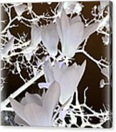 Silhouetted Blossoms Acrylic Print