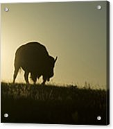 Silhouettes Of Roaming Bison Acrylic Print by Pete Ryan