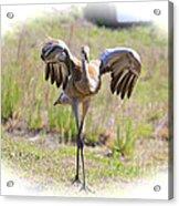 Silly Sandhill Crane Chick Acrylic Print