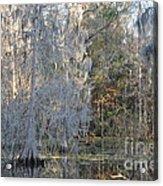 Silver Cypress Acrylic Print