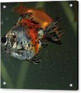 Silver Goldfish Acrylic Print