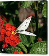 Silver Moth Acrylic Print