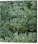 Silver Mound Dew Drenched Acrylic Print