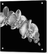 Silver Phaelenopsis Orchid On A Black Background Acrylic Print