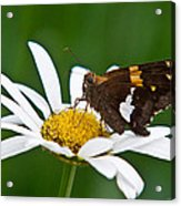 Silver Spotted Skipper 2 Acrylic Print