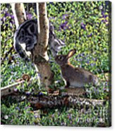 Silver Tabby And Wild Rabbit Acrylic Print