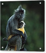 Silvered Leaf Monkey And Baby Acrylic Print