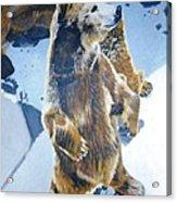 Silvertip Grizzly Bear Acrylic Print