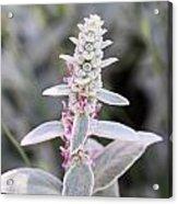Silvery Garden Acrylic Print