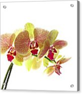 Simplified Orchids I Acrylic Print