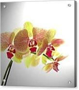 Simplified Orchids II Acrylic Print