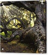 Simply Old Oak  Acrylic Print
