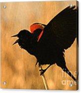 Singing At Sunset Acrylic Print