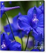 Singing The Blues Acrylic Print