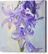 Single Bluebell Acrylic Print