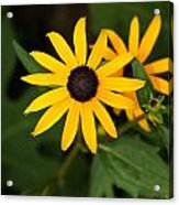 Single Daisy Acrylic Print