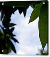Single Mango Leaf Silhouetted Against The Sky Acrylic Print