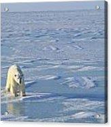 Single Polar Bear Acrylic Print