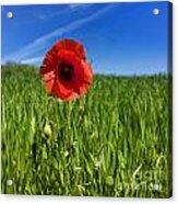 Single Poppy Flower  In A Field Of Wheat Acrylic Print