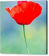 Single Poppy Acrylic Print