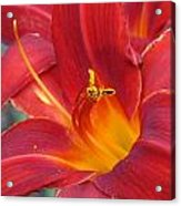 Single Red Lily 2 Acrylic Print