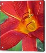 Single Red Lily Closeup Acrylic Print