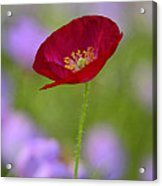 Single Red Poppy  Acrylic Print