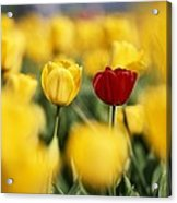 Single Red Tulip Among Yellow Tulips Acrylic Print