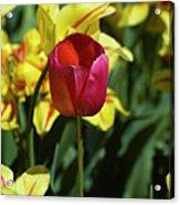 Single Red Tulip Acrylic Print