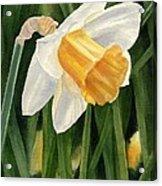 Single Yellow Daffodil Acrylic Print