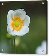 Sinle Dew Drenched Anemone Acrylic Print