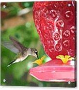 Hummingbird Sipping Acrylic Print