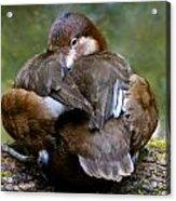 Sitting Duck Acrylic Print