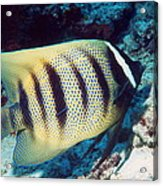 Six-banded Angelfish Acrylic Print
