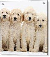 Six Labradoodle Pups Acrylic Print