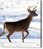 Six Point Buck Acrylic Print
