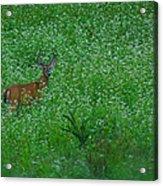 Six Point Deer In Wildflowers Acrylic Print