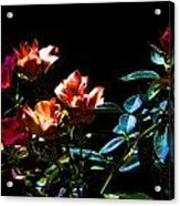 Six Roses Of The Night Acrylic Print
